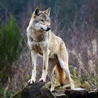 Protection du loup en Aveyron